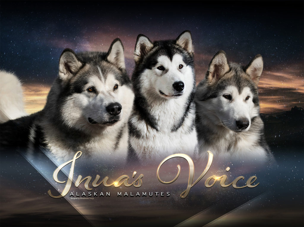 Inua's Voice Alaskan Malamutes