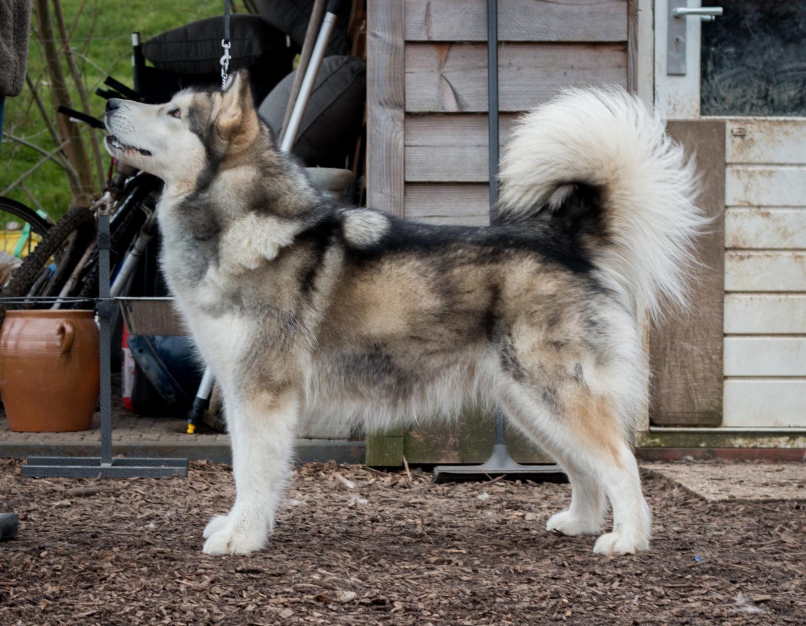 Kataum Inua;s Iglanartok Nevi Alaskan Malamute Inua's Voice Alaskan Malamute Kennel