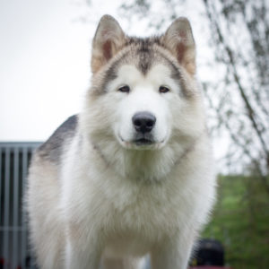 Inua's Voice Optimus Prime Alaskan Malamute Kennel