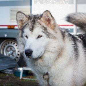 Inua's Voice Optimus Prime Alaskan Malamute