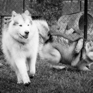 Alaskan Malamute at Kennel Inua's Voice
