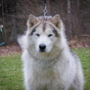 Inua's Voice Optimus Prime at Inua's Voice Kennel Alaskan Malamute Puppy
