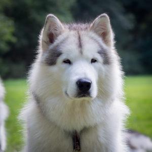 Inua's Voice Optimus Prime Alaskan Malamute Prime Kennel Puppy