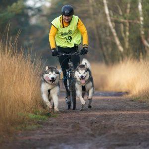 Inua's Voice Alaskan Malamutes Finne and Jon Snow
