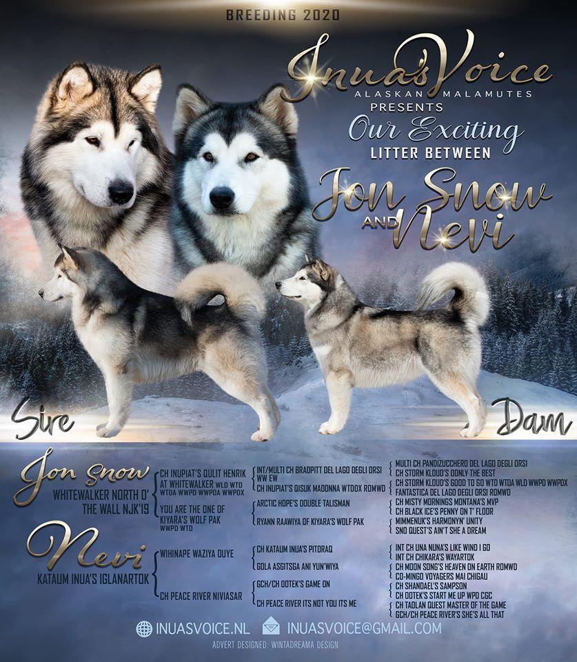 Litter Nestje Alaskan Malamute Inua's Voice Nevi Jon Snow